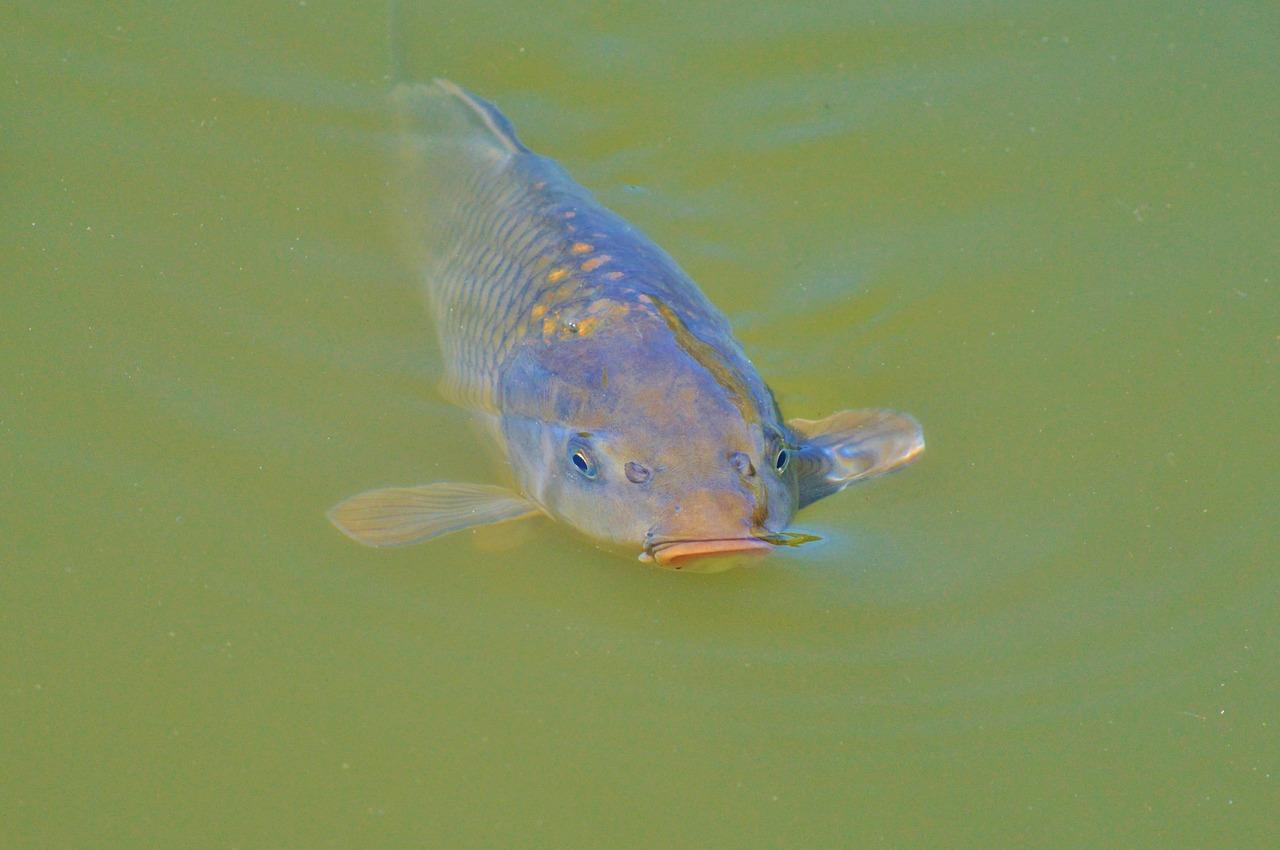Mąka sojowa to pełnowartościowy składnik pasz dla ryb
