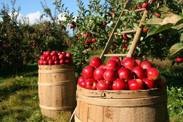 Jak przechowywać jabłka aby utrzymały świeżość?